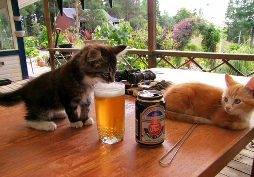 Cats love beer funny meme
